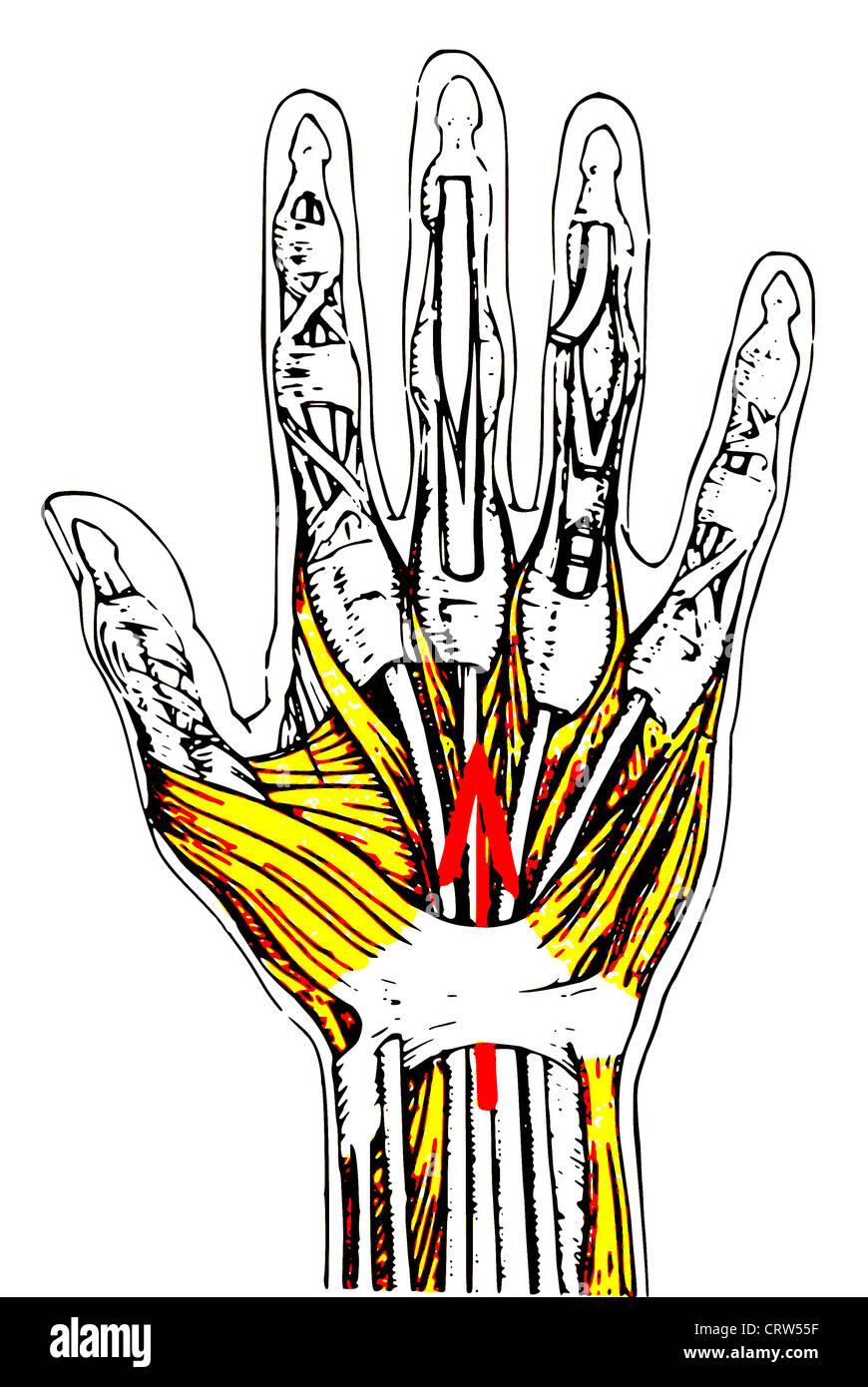 Anatomie der menschlichen Hand bunten Stockfoto, Bild: 49110699 - Alamy