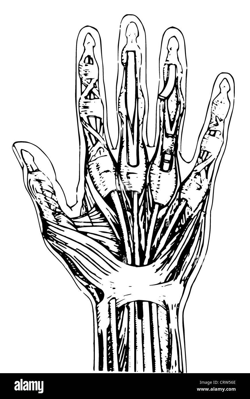 Anatomie der menschlichen hand Stockfoto, Bild: 49110726 - Alamy