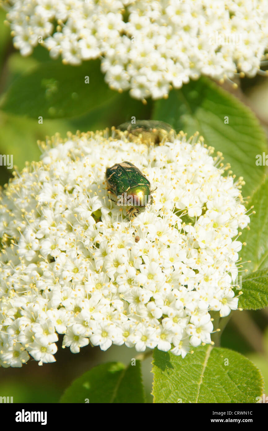 Schneeball Strauch Stockfoto Bild 49123128 Alamy