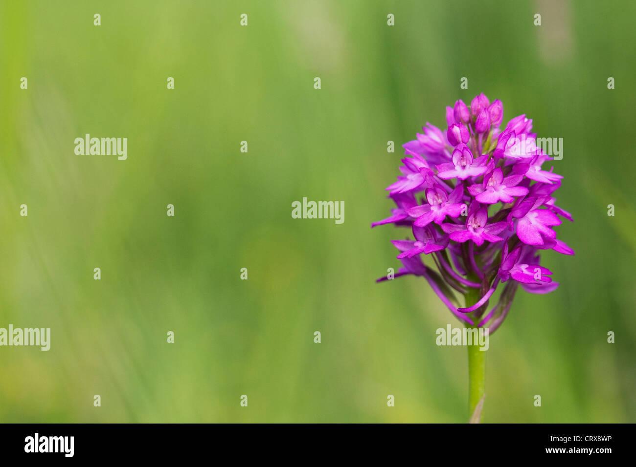 Anacamptis Pyramidalis. Pyramiden-Orchidee in einer Wildblumenwiese. Stockbild