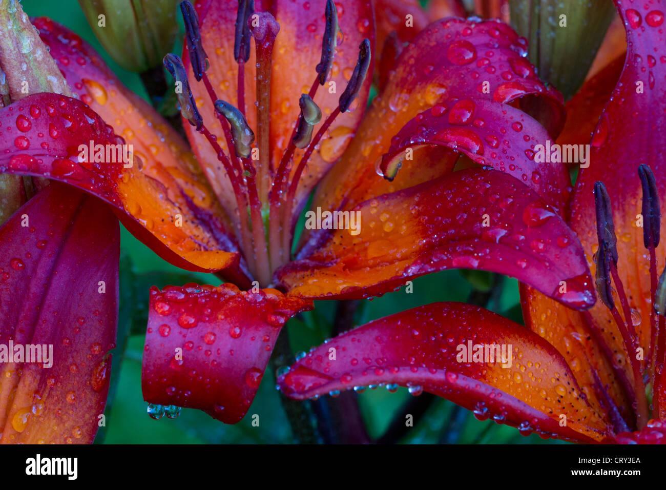 """Lilium 'Orange Matrix""""mit Wassertropfen Stockbild"""