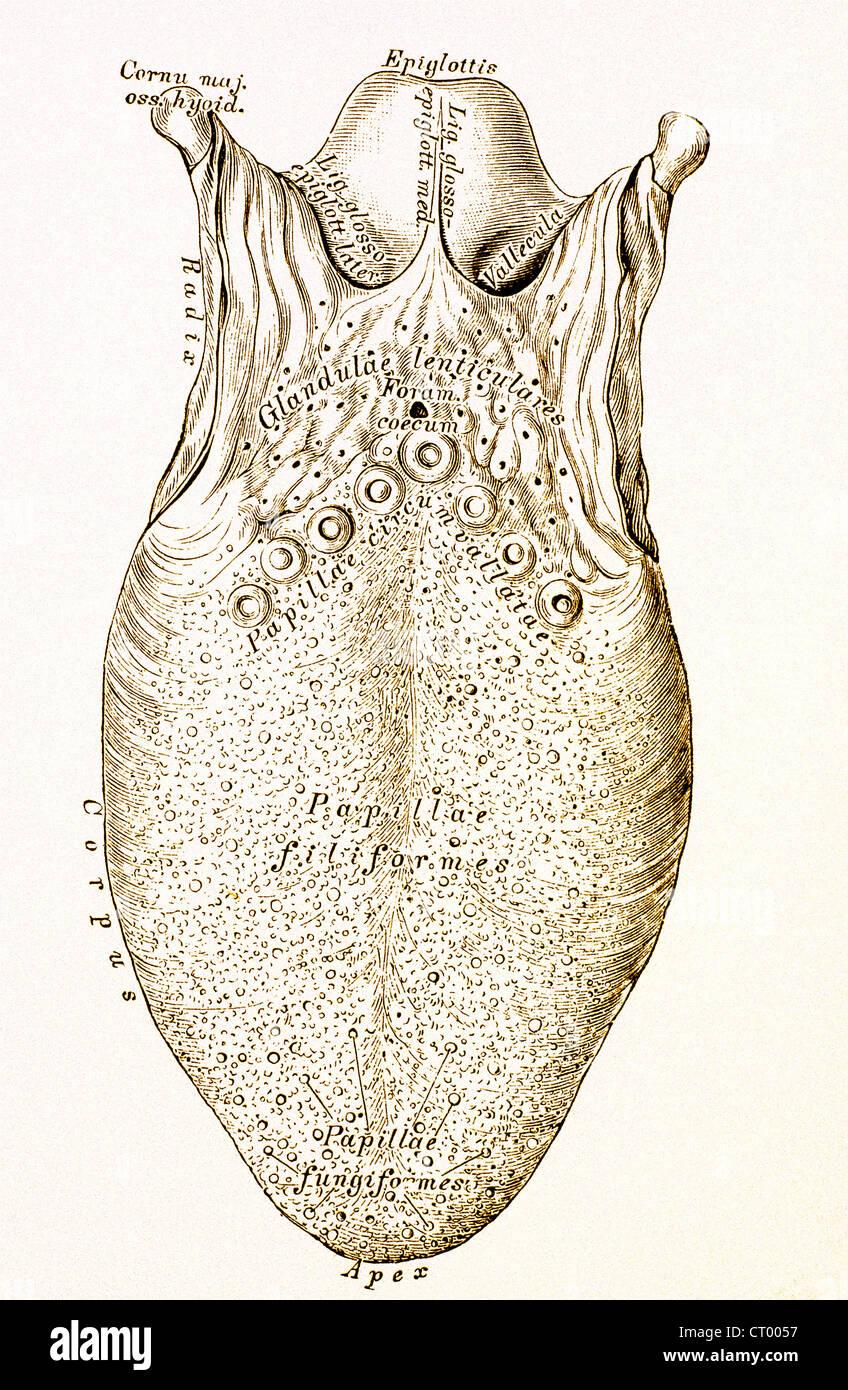 Fungiform Papillae Stockfotos & Fungiform Papillae Bilder - Alamy