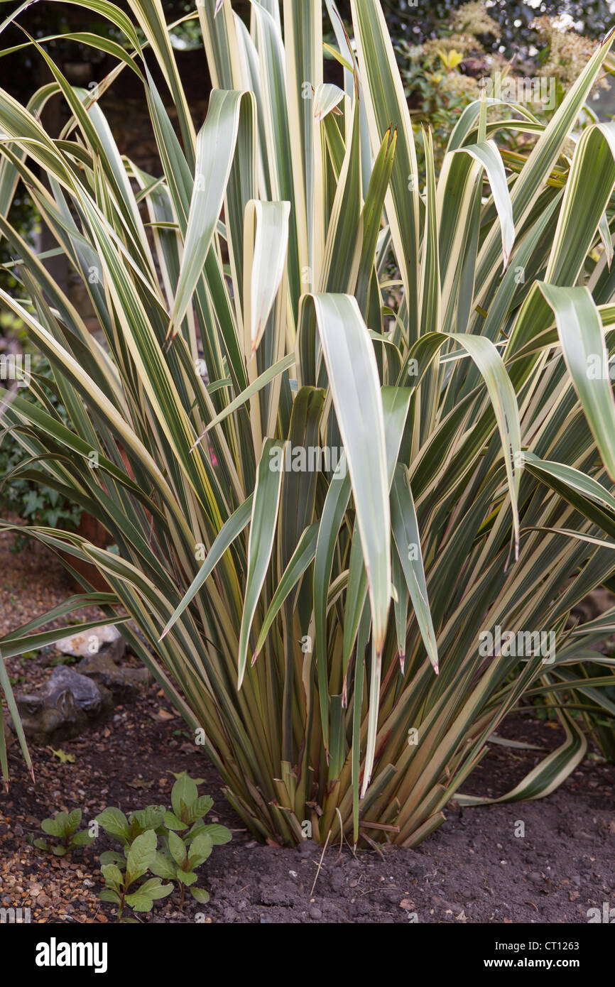 Phormium Tenax 'Variegata'-Neuseeland-Flachs Stockfoto