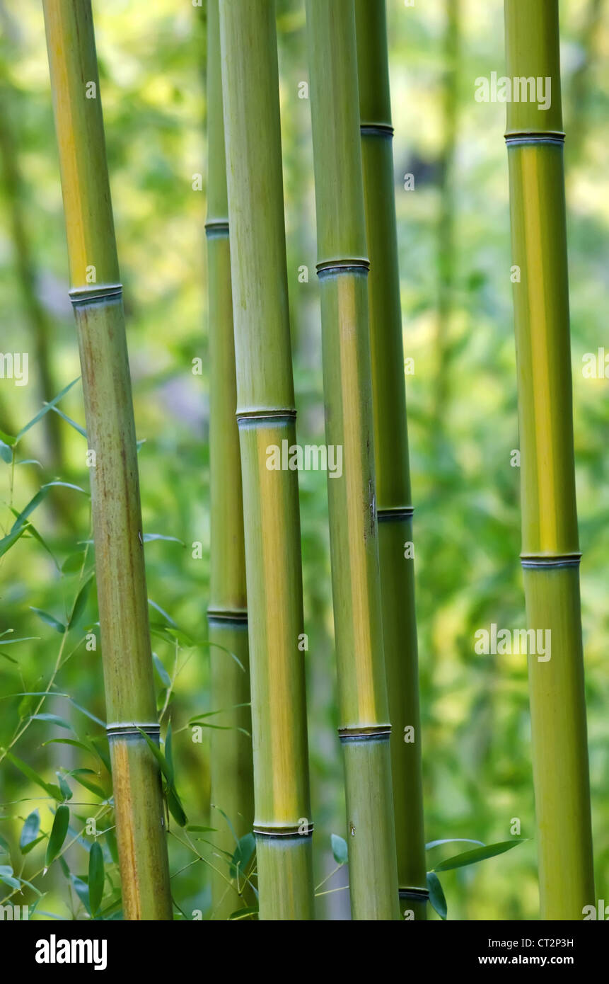 Grün Leben Bambusbäume Stockbild