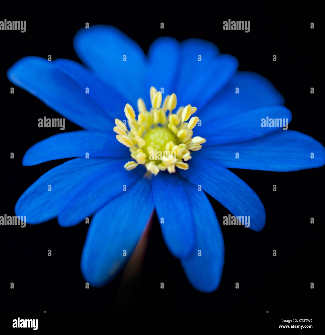 anemone einzelne blaue blume vor einem schwarzen. Black Bedroom Furniture Sets. Home Design Ideas