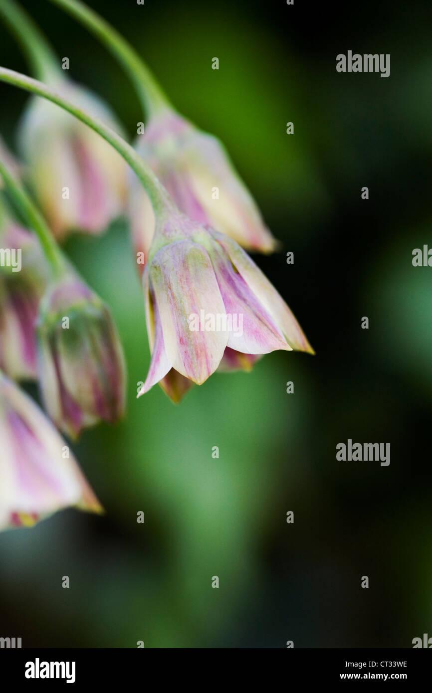 Nectaroscordum Siculum wächst in einem englischen Garten. Sizilianischen Honig Knoblauch. Stockbild