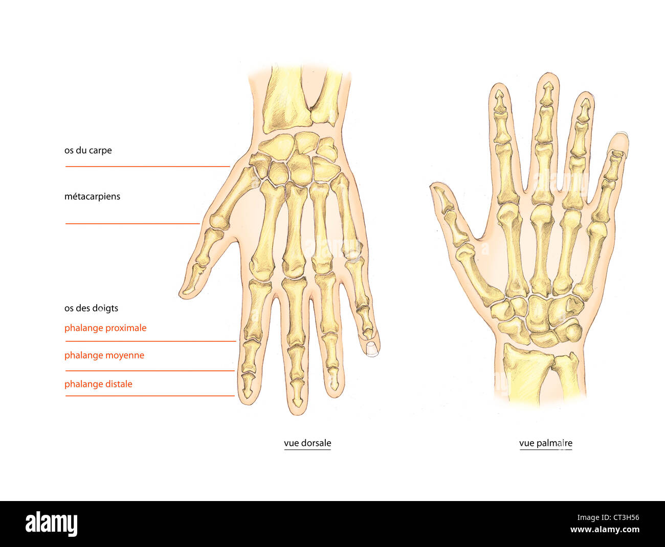 Stupendous Trapezium Skeleton Hand Stockfotos Trapezium Skeleton Hand Bilder Wiring Cloud Mangdienstapotheekhoekschewaardnl