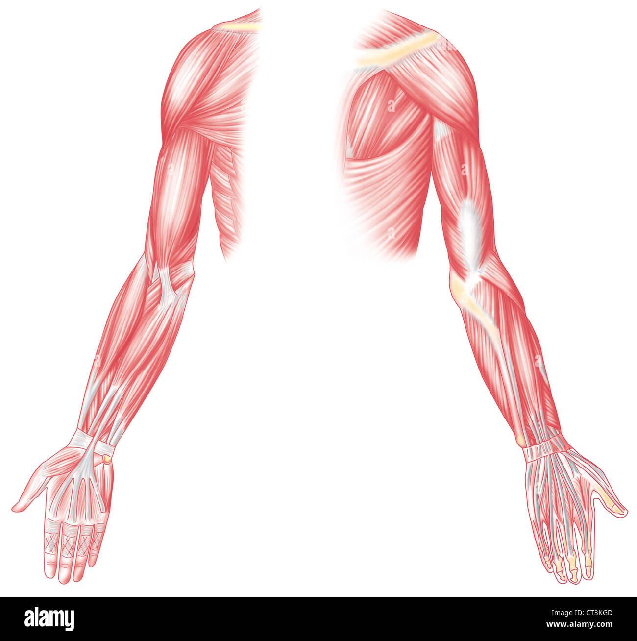 Berühmt Oberkörper Muskel Namen Zeitgenössisch - Menschliche ...