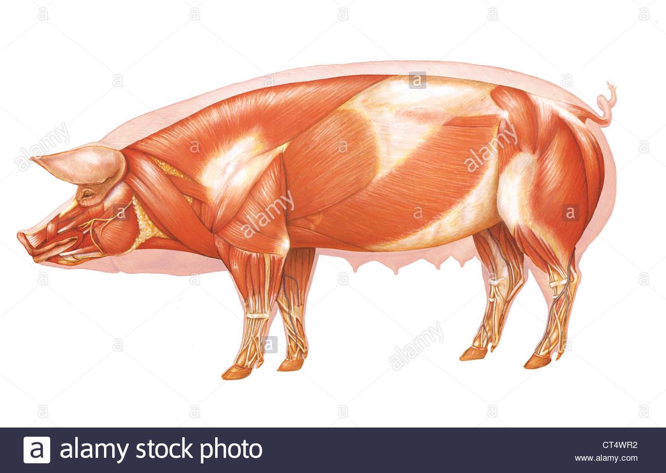 Pig Anatomy Stockfotos & Pig Anatomy Bilder - Alamy