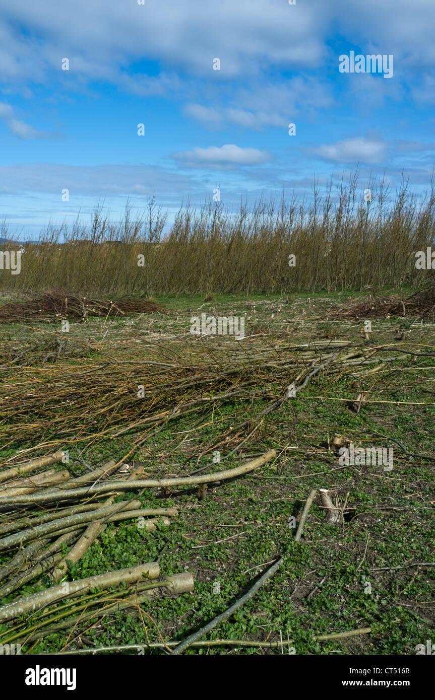 Dh BIOMASSE GROSSBRITANNIEN Schottland Willow Biomasse Forschung Erntegut Papdale Feldversuch grüne Pflanzen Stockbild