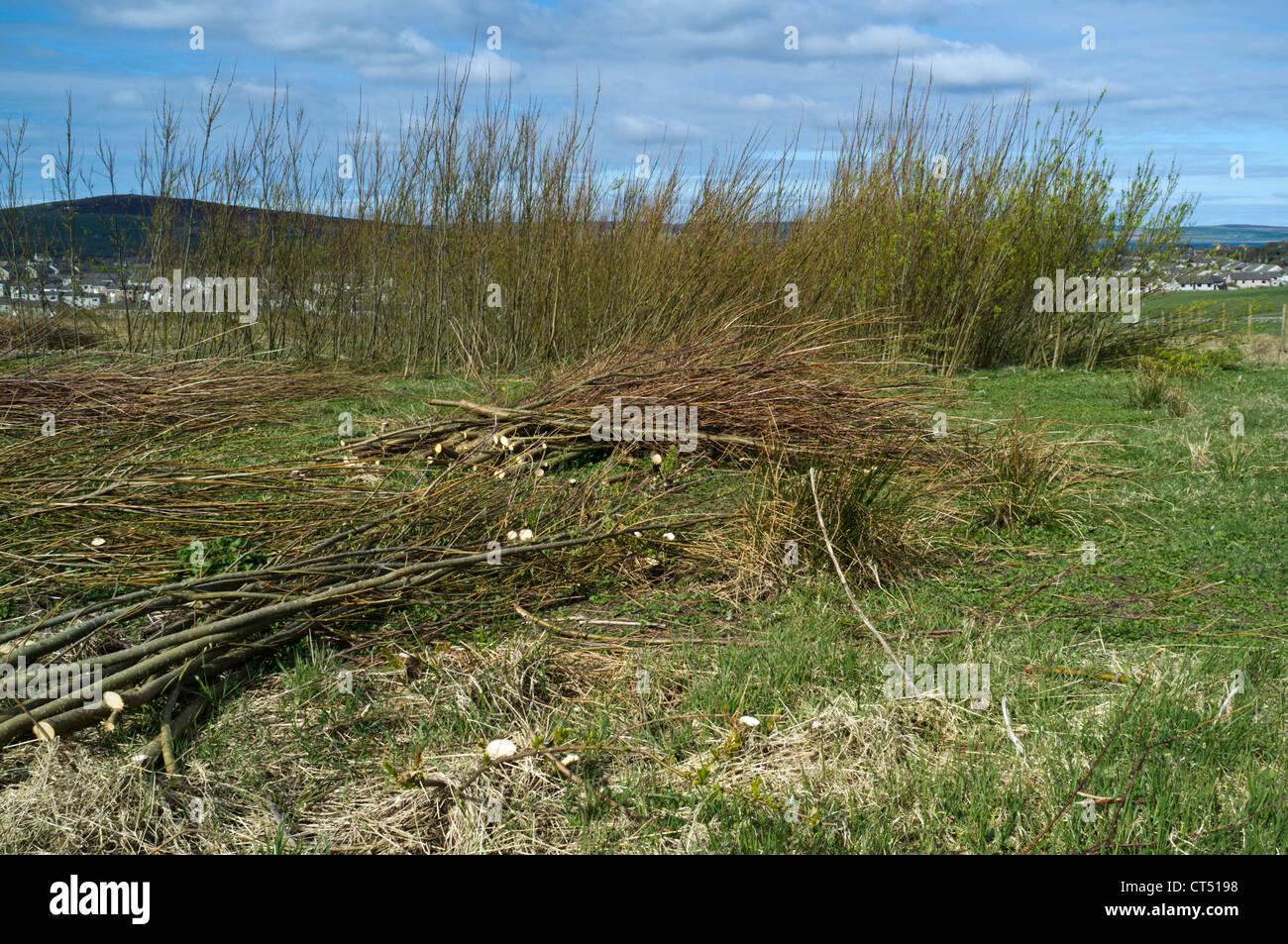 Dh BIOMASSE DE willow Biomasse Forschung crop Field Trial Schottland erneuerbare uk Kulturpflanzen Kraftstoff Stockbild
