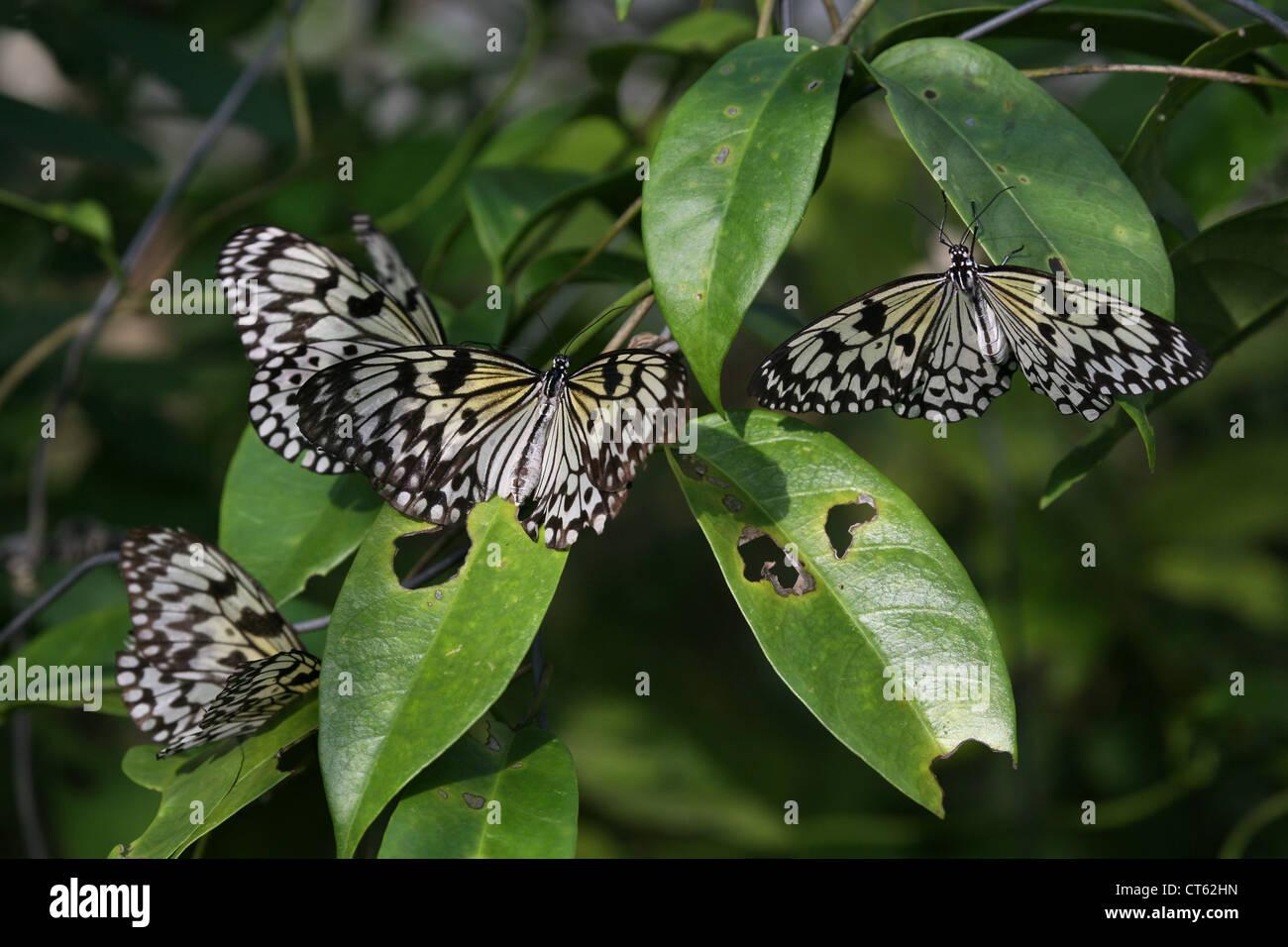 Einige Schmetterlinge, Thailand, Phuket Stockfoto, Bild: 49306257 ...