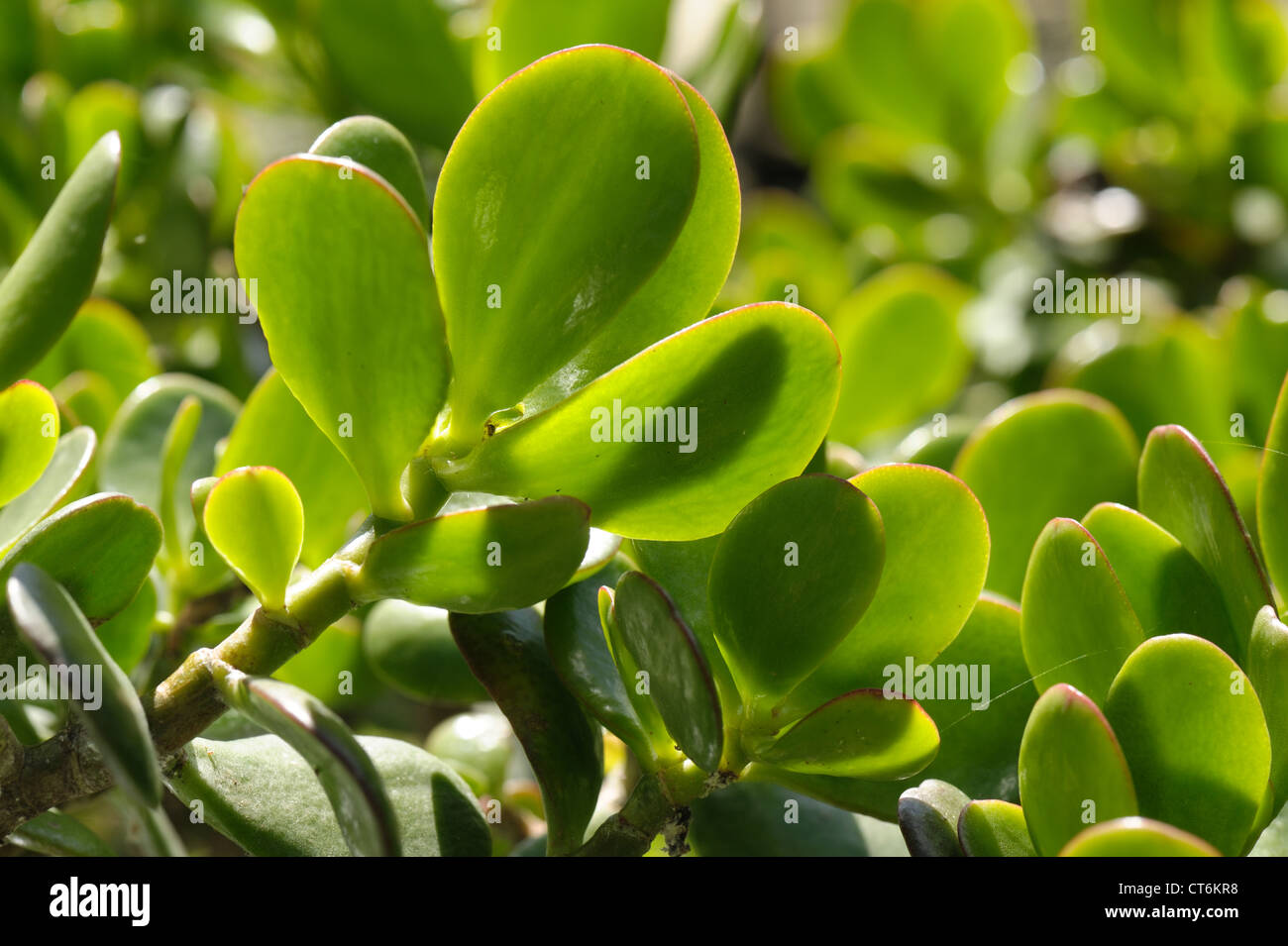 sukkulente bl tter einen geld baum oder efeutute crassula ovata stockfoto bild 49319740 alamy. Black Bedroom Furniture Sets. Home Design Ideas