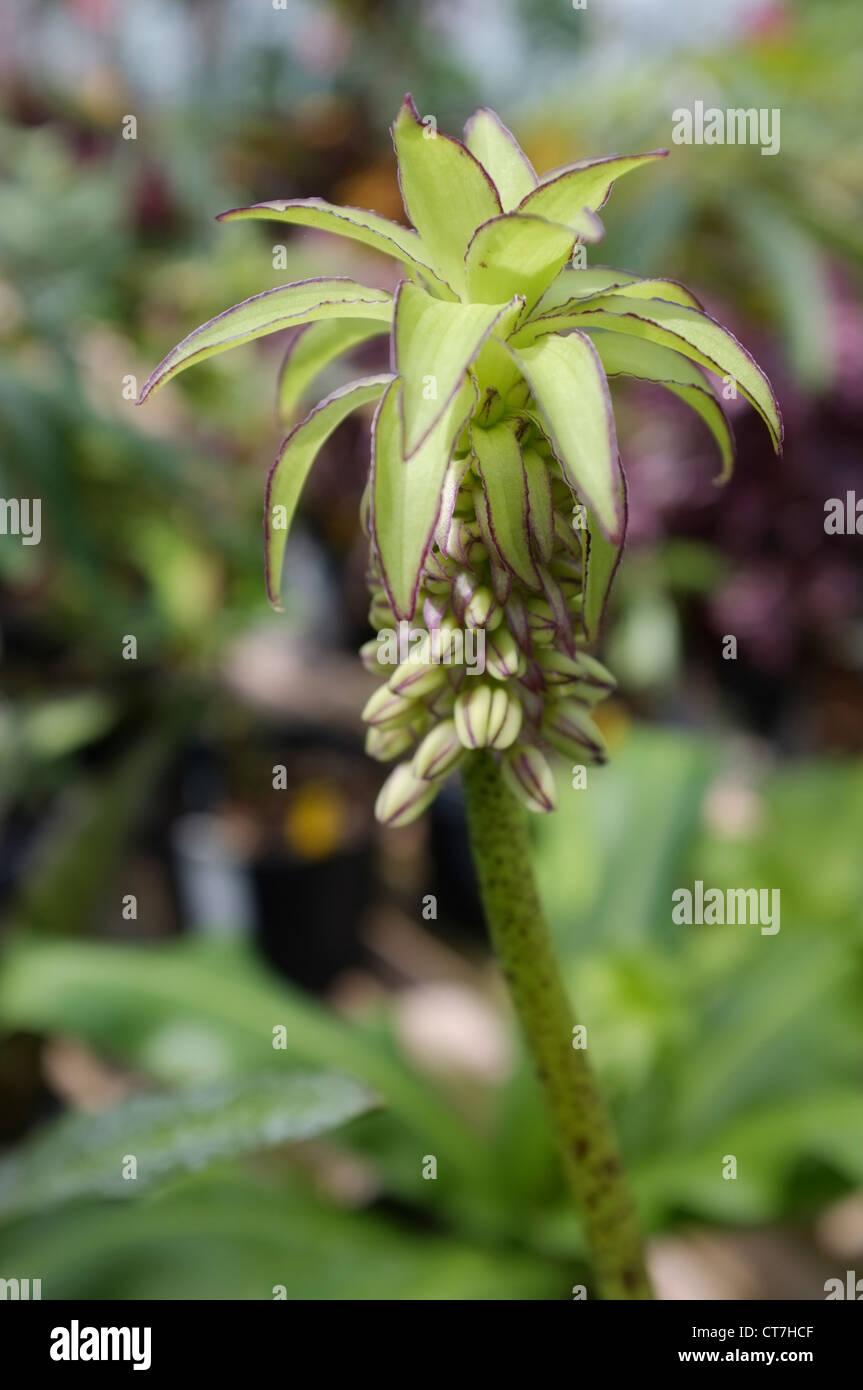 Eucomis Bicolor oder Ananas Lilie - Familie: Asparagaceae, aus Südafrika Stockbild