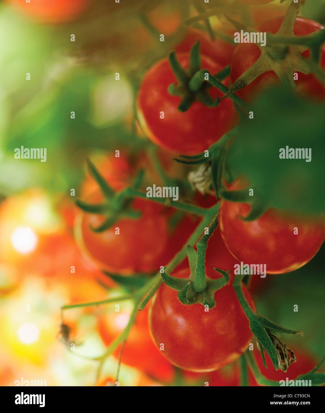 Lycopersicon Esculentum, Tomaten, rote Früchte wachsen an den Rebstöcken. Stockbild