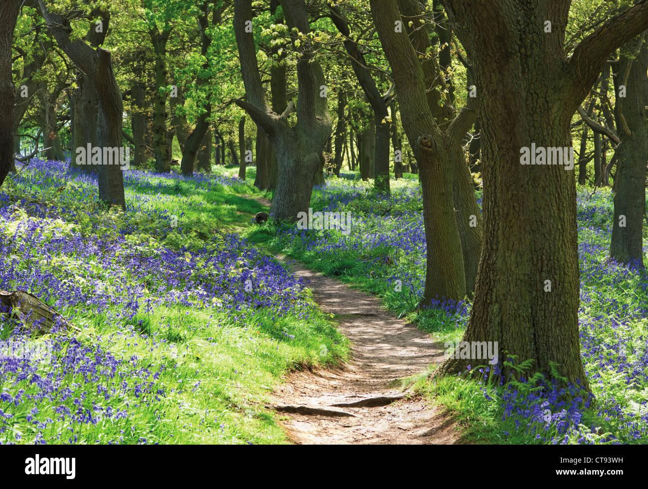 Hyacinthoides non-Scripta, Bluebell Holz Stockbild
