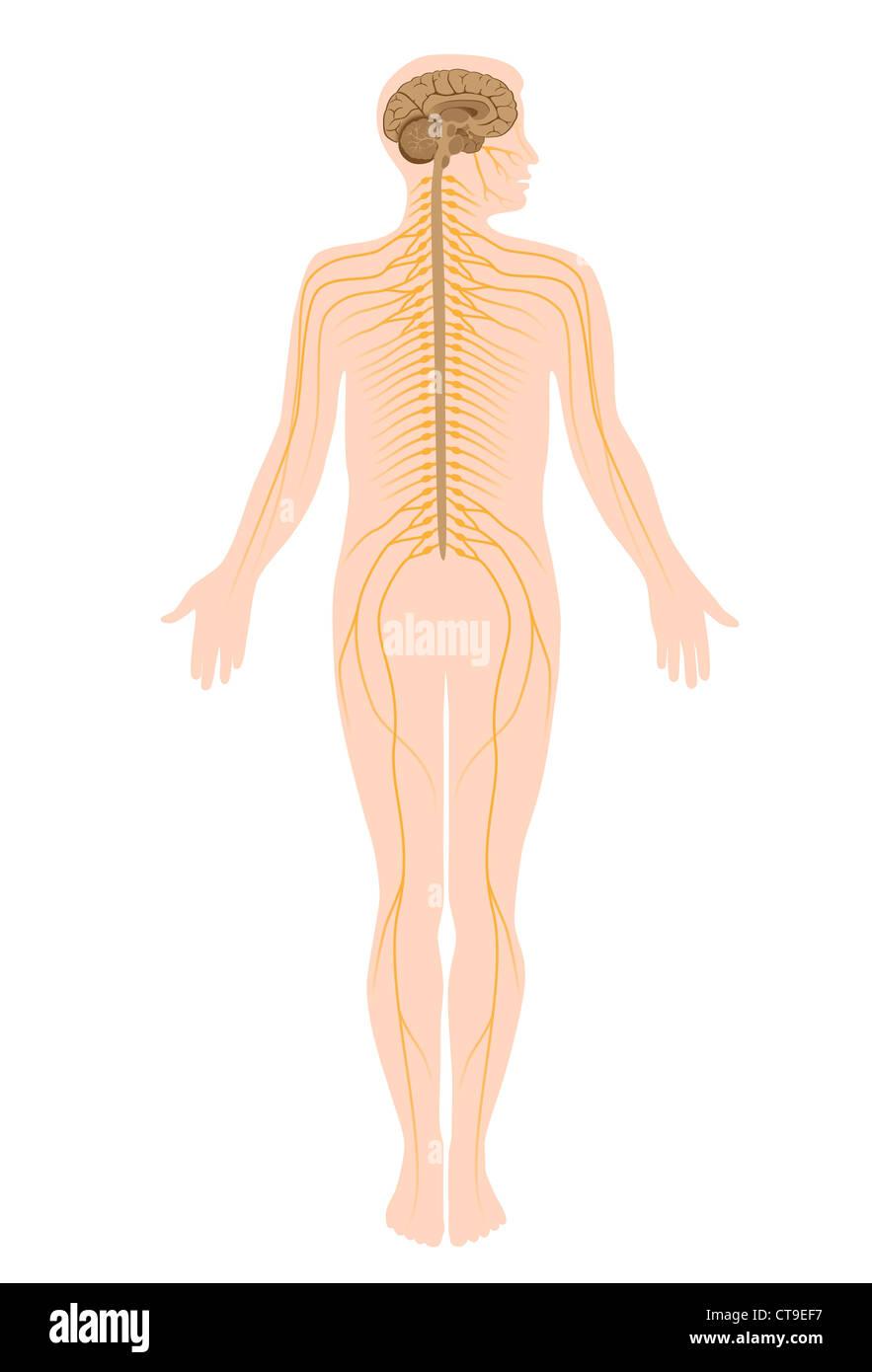 Schön Diagramm Des Nervensystems Des Menschlichen Körpers Ideen ...