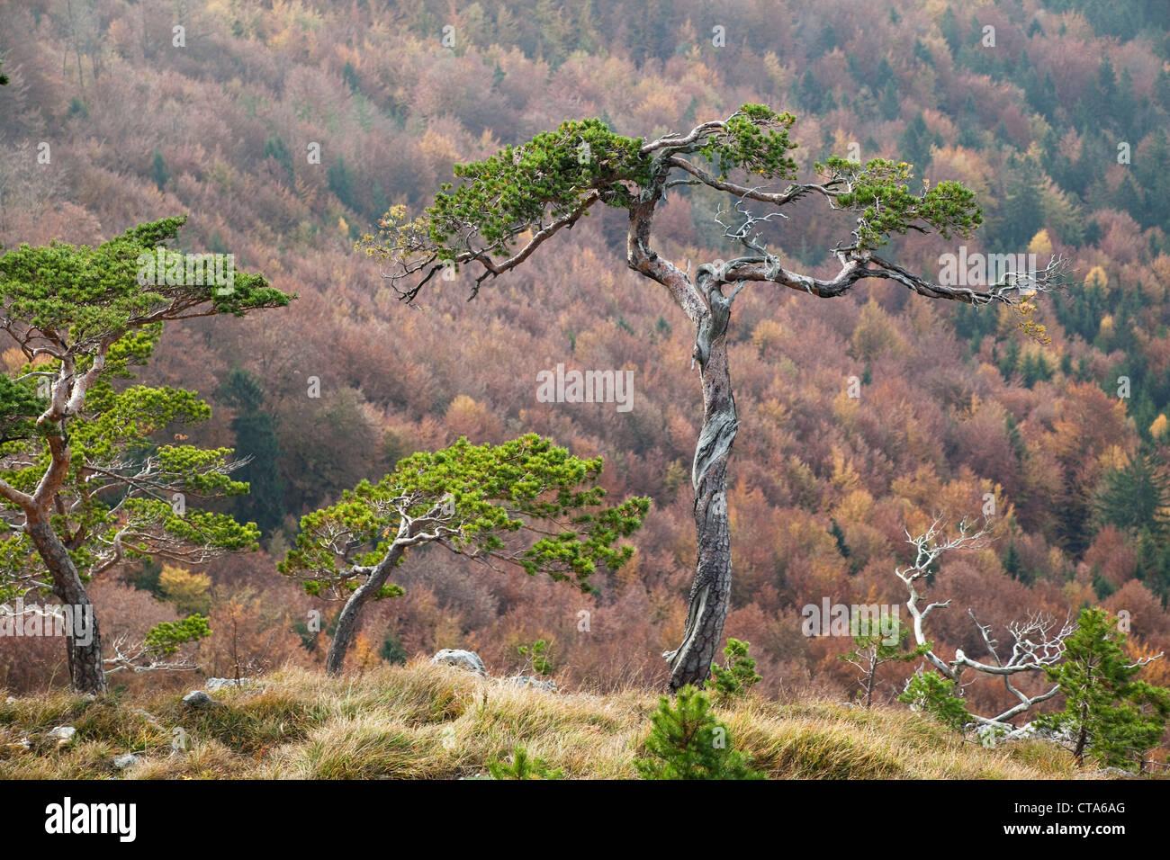 Kiefern (Pinus Sylvestris) im Herbst, Oberbayern, Deutschland Stockbild