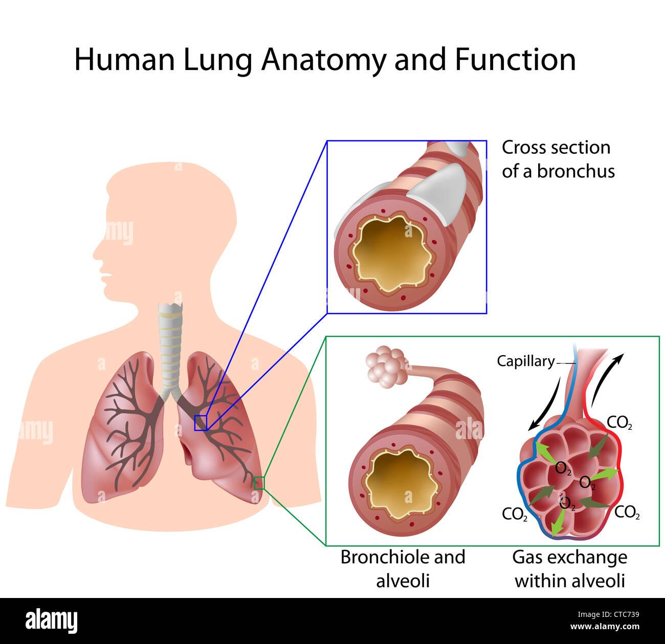 Menschlichen Lunge Anatomie und Funktion Stockfoto, Bild: 49441485 ...