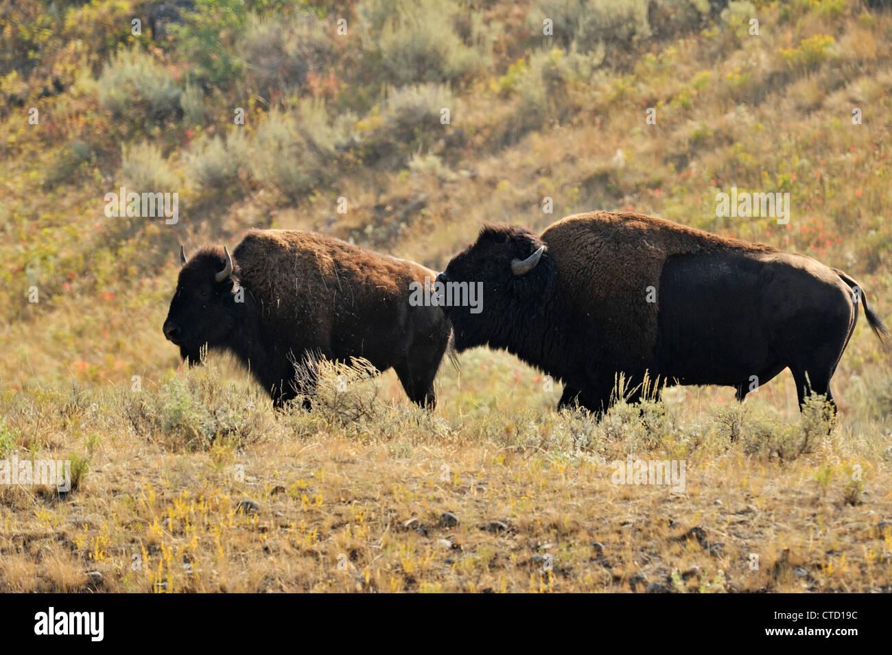 Amerikanische Bisons (Bison Bison) Stier und Kuh in Furche, Yellowstone- Nationalpark, Wyoming, USA ca3323c2ae