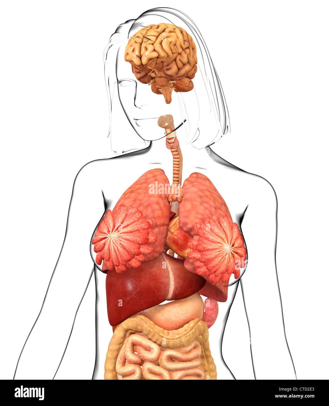 Weibliche Anatomie Kunstwerk Stockfoto, Bild: 49459819 - Alamy