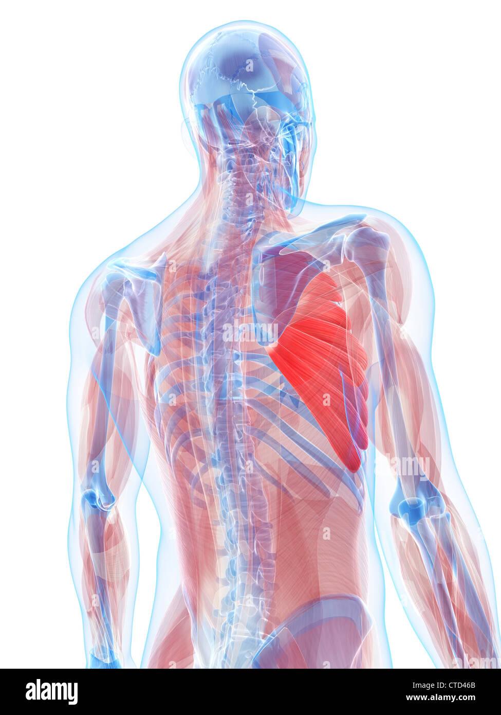 Brust-Muskeln-Kunstwerk Stockfoto, Bild: 49461171 - Alamy
