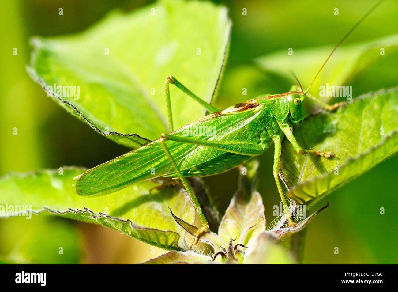 Nahaufnahme einer großen grünen Busch Grille (Tettigonia Viridissima) Stockbild
