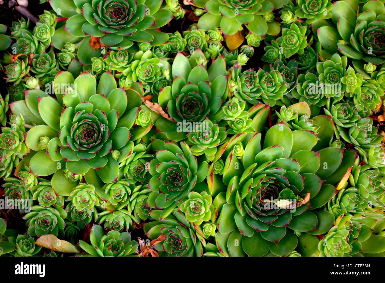 Purple Green Succulents Stockfotos & Purple Green Succulents Bilder ...