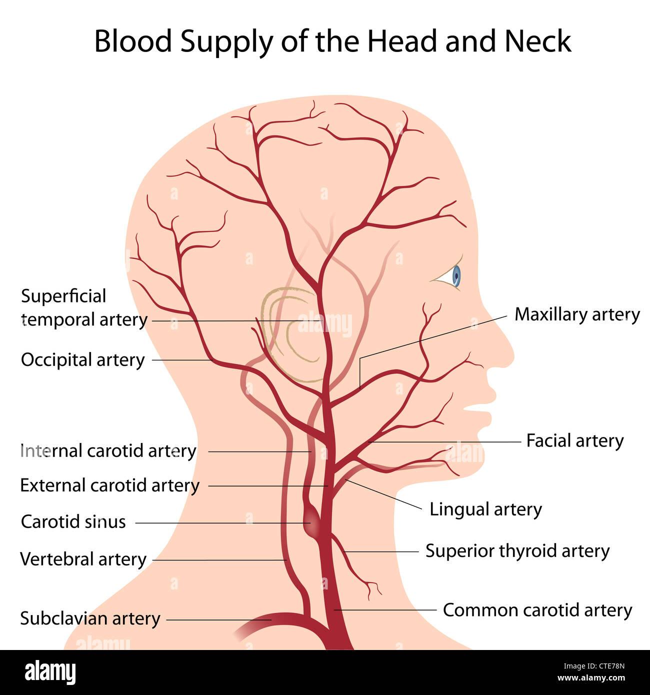 Blutversorgung von Kopf und Hals Stockfoto, Bild: 49485541 - Alamy