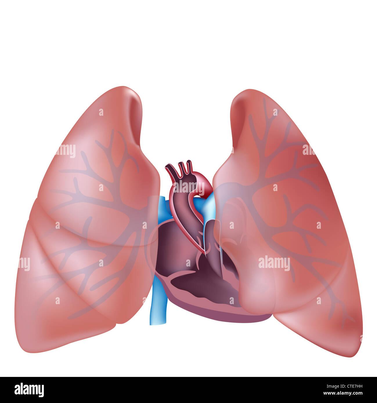 Querschnitt und Lunge Anatomie Herz Stockfoto, Bild: 49485789 - Alamy