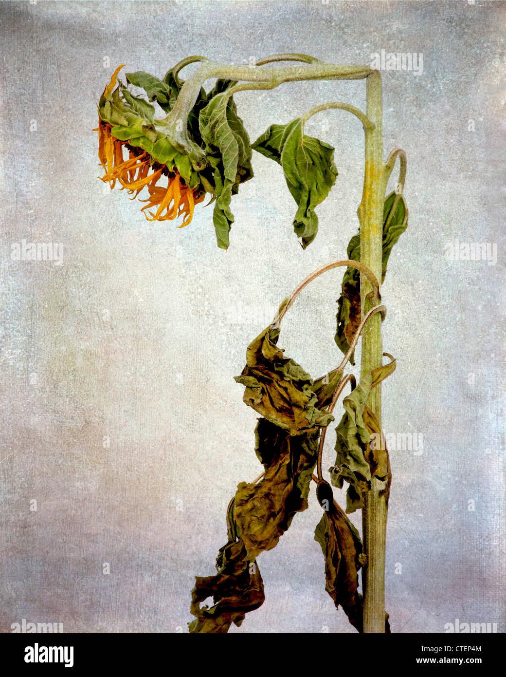 Erschöpft Sonnenblume, Vintage-Look Stillleben verdorrte. Stockbild