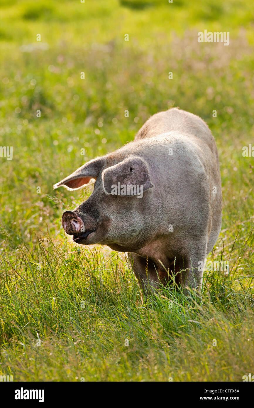 Die Niederlande, Kortenhoef, Schweine. Zu säen. Stockbild