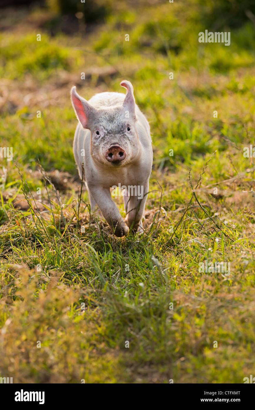 Die Niederlande, Kortenhoef, Schweine. Ferkel. Stockbild