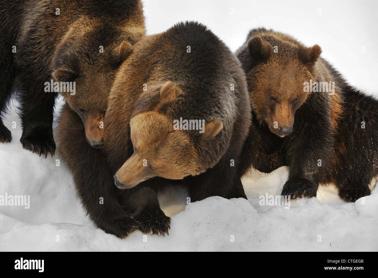 Familie der eurasischen Braunbären (Ursus Arctos Arctos) weiblich mit zwei zwei-jährigen Jungen im Schnee im Frühjahr Stockfoto