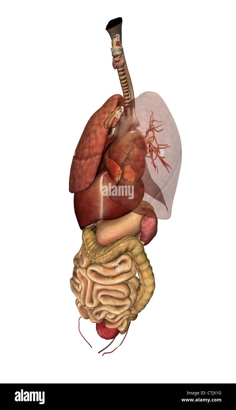 menschliche Anatomie Organe (Lunge, Herz, Leber, Verdauung Stockfoto ...