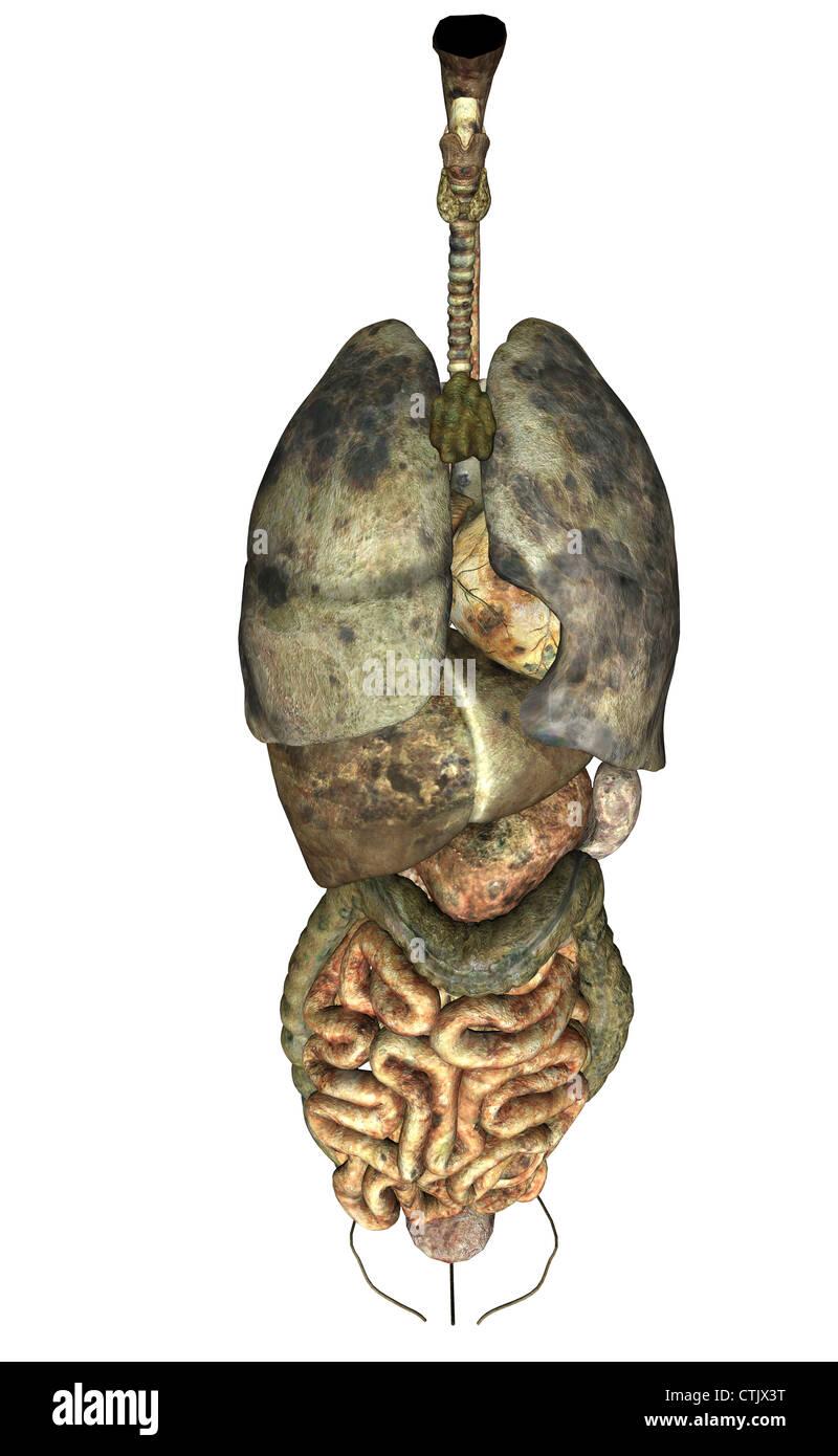 menschliche Anatomie Organe (Herz, Lunge, Leber, Verdauung), morsch ...