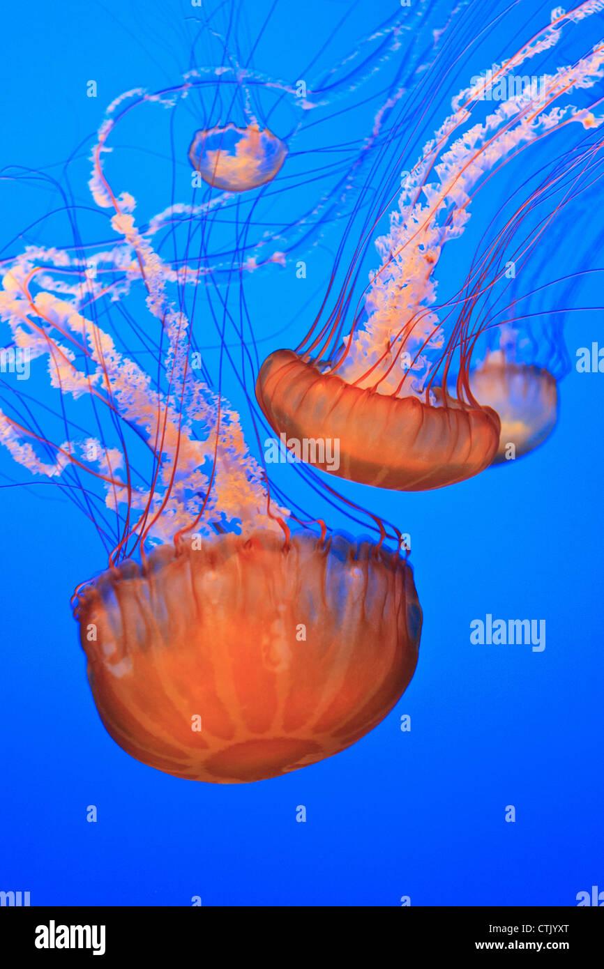 Sea Life Jellyfish Stockfotos & Sea Life Jellyfish Bilder - Alamy