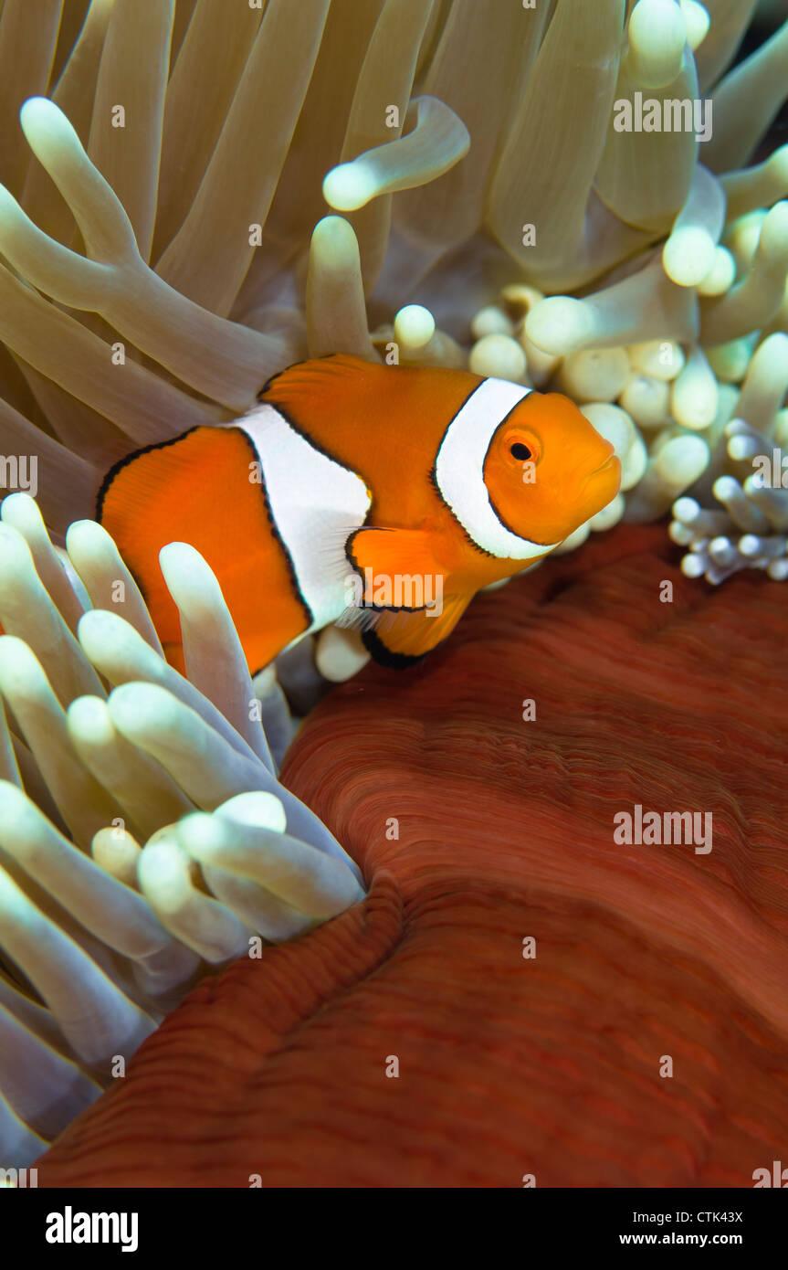 Clown Anemonenfischen in Anemone. Great Barrier Reef, Australien Stockfoto