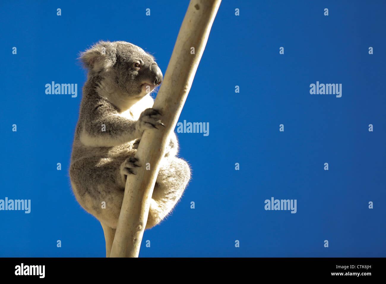Mürrisch Koala auf Baum Stockbild