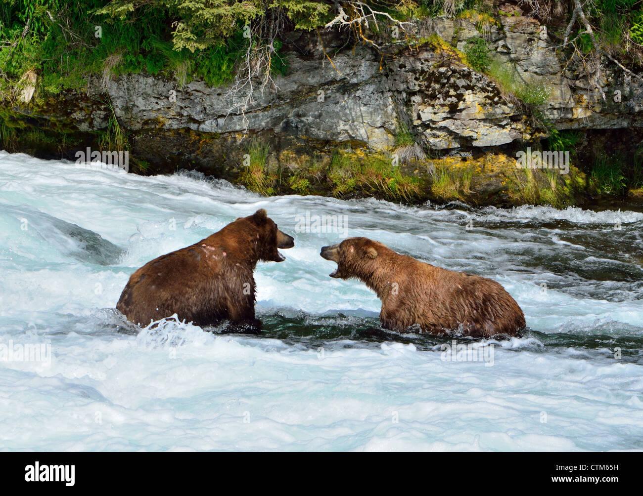 Zwei Braunbären konfrontieren einander an den Brooks Falls. Katmai Nationalpark und Reservat. Alaska, USA. Stockbild
