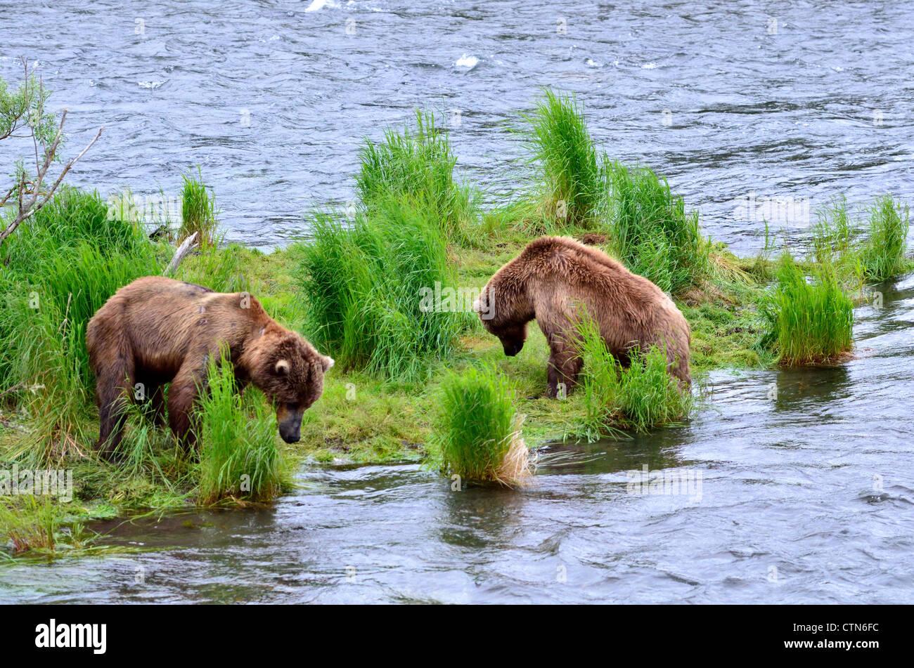 Zwei Braunbären konfrontieren einander am Brooks River. Katmai Nationalpark und Reservat. Alaska, USA. Stockbild