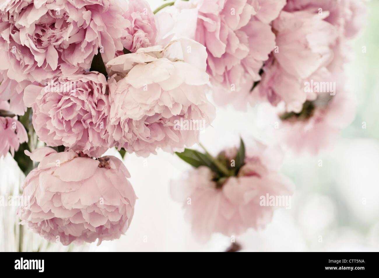 Paeonia Lactiflora Pfingstrose Rosa Blumen In Einer Vase