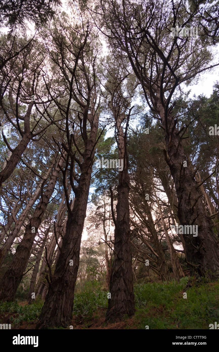 Dunkle, geheimnisvolle Wälder außerhalb Wellington, verwendet als Set für Herr der Ringe film Stockbild