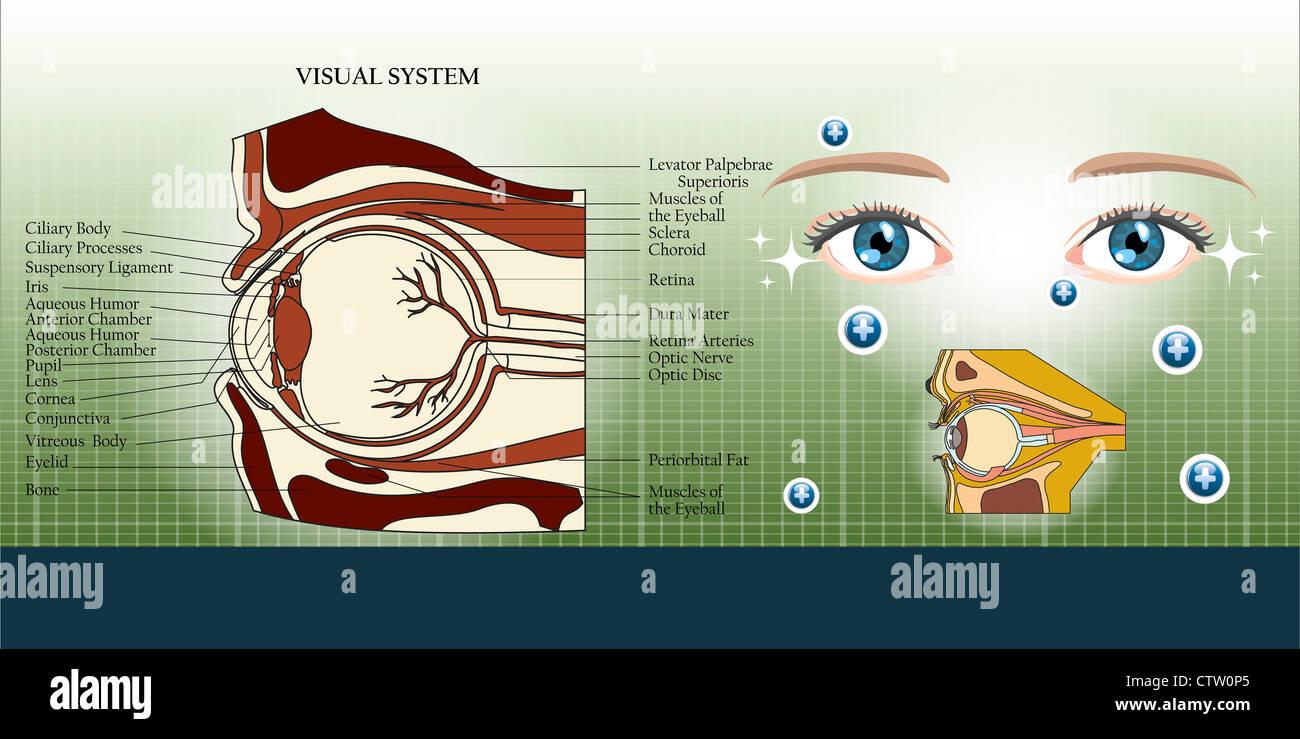 Visuelle System und Auge-Anatomie-Illustration Hintergrund Stockfoto ...