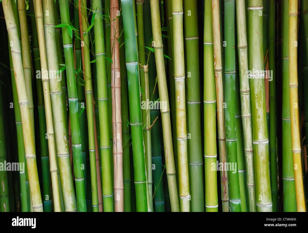 Grüner Bambus Baumstämme zu leben Stockbild