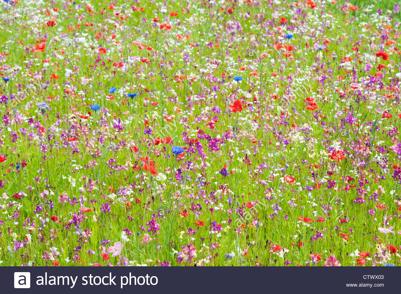 cornflowers poppies stockfotos cornflowers poppies bilder alamy. Black Bedroom Furniture Sets. Home Design Ideas