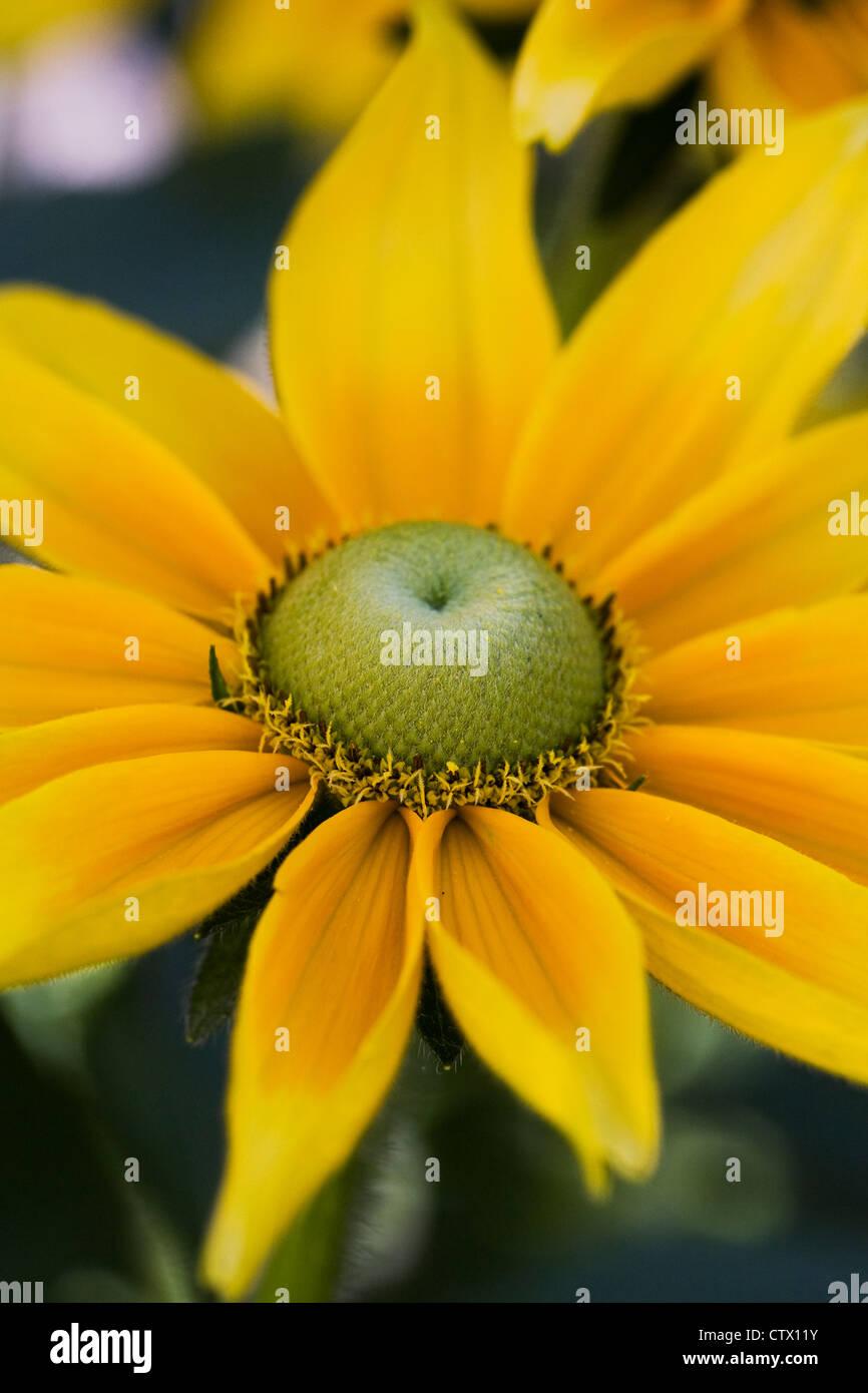 Rudbeckia Hirta 'Prairie Sun'. Sonnenhut wächst in einer krautigen Grenze. Stockbild