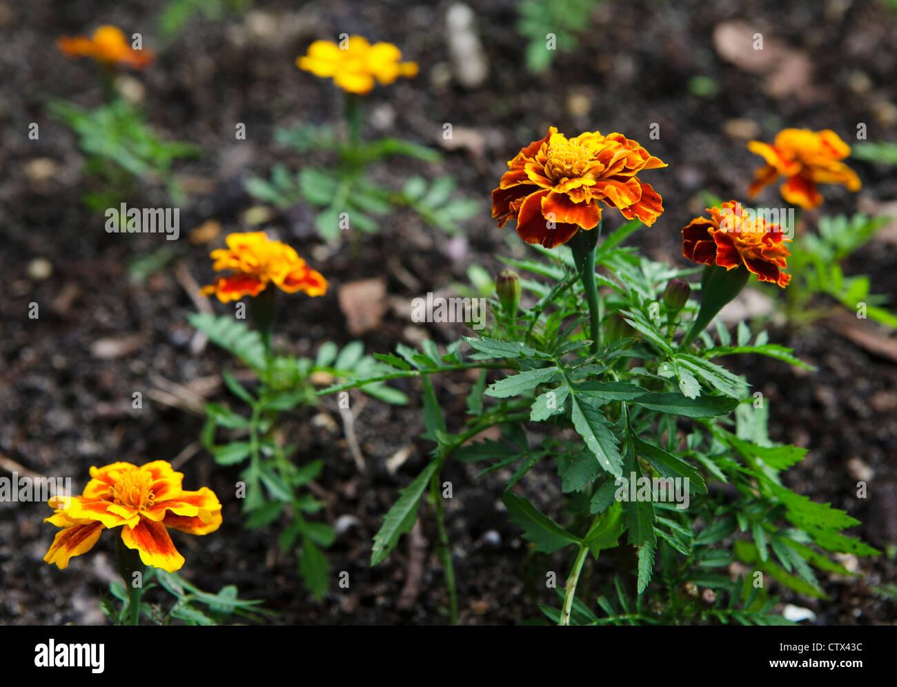 Französische Ringelblume (Tagetes Patula) Stockfoto