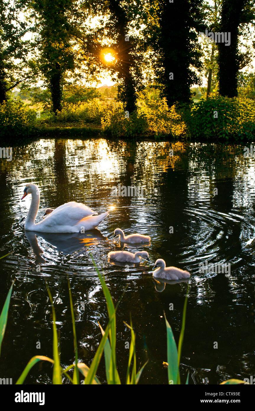 SPRING RIVER WEY SWAN CYGNETS Pen Swan und Cygnets am Ende des Gartens auf einem ruhigen National Trust River Wey Stockbild