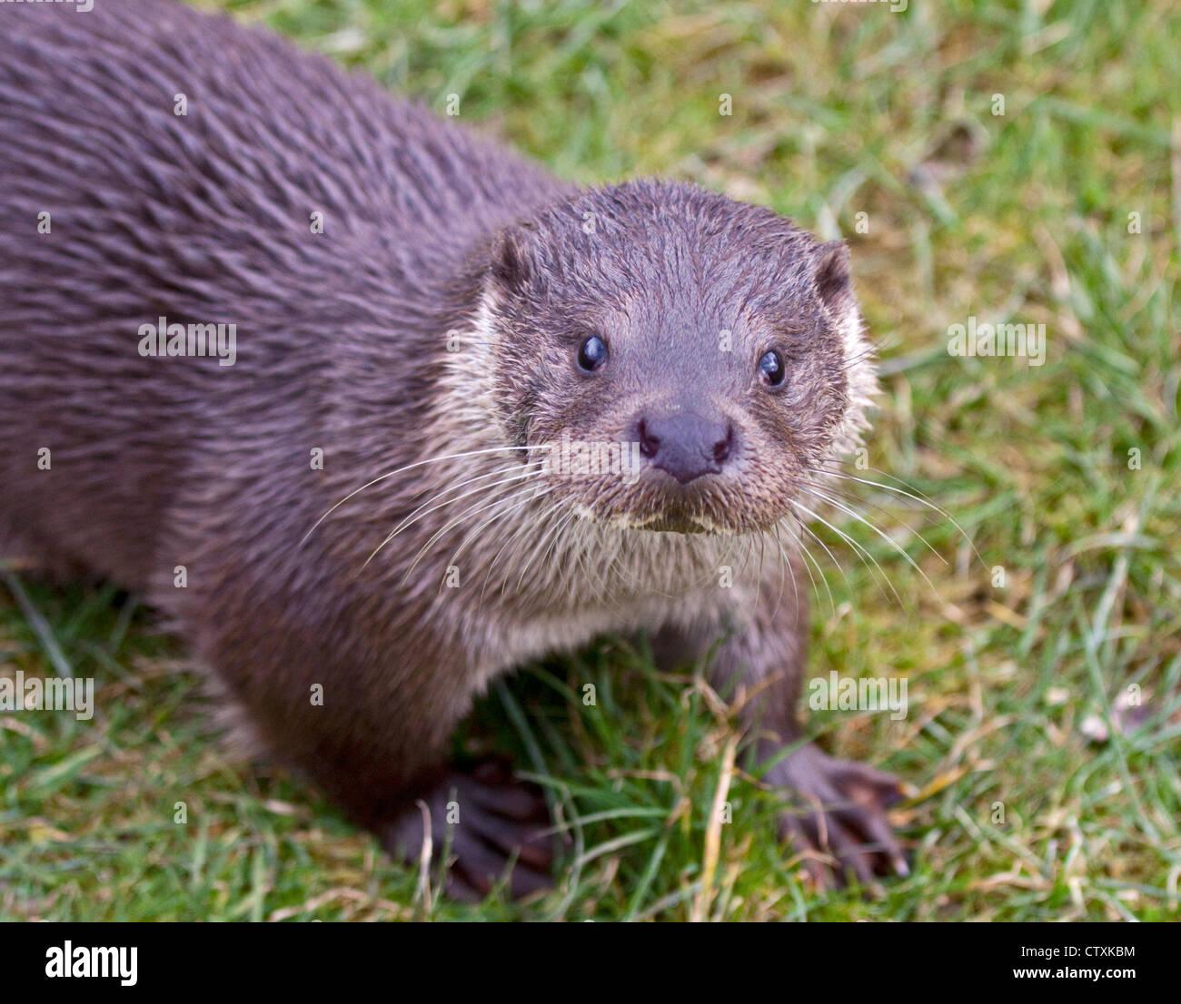 Europäische Otter (Lutra Lutra) Stockbild
